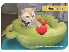 Hermann is a sweet red Burmese boy. We love it when he visits us!