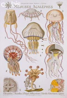 Meduses Acalephes Educational Poster by P. Mery