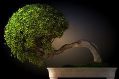 13 Types of Bonsai Trees (by Style and Shape Plus Pictures) Cascading Bonsai Tree Bonsai Ficus, Jade Bonsai, Bonsai Tree Types, Bonsai Tree Care, Indoor Bonsai Tree, Indoor Trees, Plantes Feng Shui, Trees Tumblr, Cura Interior