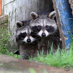 Cute animals and wildlife. they're so cat like. Cute Wild Animals, Wild Animals Photos, Baby Animals Pictures, Cute Funny Animals, Funny Animal Pictures, Animals And Pets, Baby Raccoon, Cute Raccoon, Beautiful Creatures