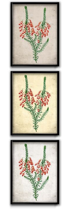 Heather flowers - so beautiful! These adorable little gals are found all over Scotland, but I haven't seen them here in Austin so much.  This vintageillustration ishandcrafted with museum-quality heavyweight durable, acid-free cotton paper and fingerprint-resistant, durable and archival inks. This is an excellent gift or a lovely print for your home.