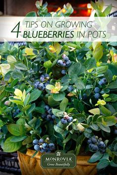 """How to Grow Blueberries in Pots (the secret is four """"Ps""""). Because you're planting them in containers and can provide for all their needs, even those without the naturally acidic soil that blueberries love can grow these plants. Fill your larger containers with these compact shrubs, and place them for easy picking."""