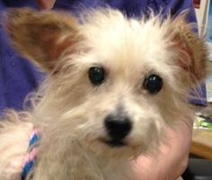 TO BE DESTROYED - 12/05/14 Manhattan Center ***NEW PHOTO!*** ~~SENIOR ALERT!!~~ My name is SMOKEY. My Animal ID # is A1022188. I am a male tan and white shih tzu mix. The shelter thinks I am about 14 YEARS old. I came in the shelter as a OWNER SUR on 12/02/2014 from NY 10467, owner surrender reason stated was ALLERGIES.