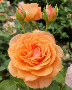 Louise Clements™ proudly displaying vibrant hues of orange during this fall season. Beautiful Flowers Garden, Flowers Nature, Amazing Flowers, Beautiful Roses, Pretty Flowers, Orange Flowers, Yellow Roses, Color Melon, Bed Of Roses