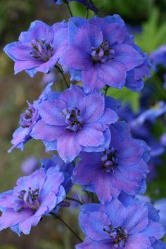 Larkspur: Delphinium 'Fenella' [Family: Ranunculaceae] - Garden Buddies forum