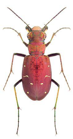 Cicindela longilabris