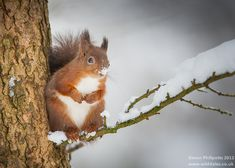 Red Squirrel in tree with snow || cold nose :-)