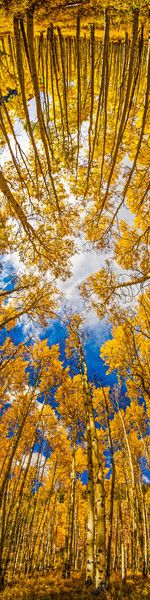 trees castle fall creek aspen cloudy aspens distorted blue sky goog wide angle 180 2011website webpublished peak fall
