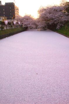 Cherry Blossom petals filled river in Japan