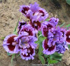 SDB Iris germanica 'Parade Lap' (Johnson, 2015)