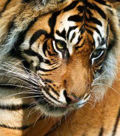 Sumatran Tiger at Thrigby Hall Wildlife Gardens. by patrick-walker, via Flickr
