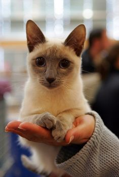 1052 Best Siamese And Oriental Cuties Images On Pinterest