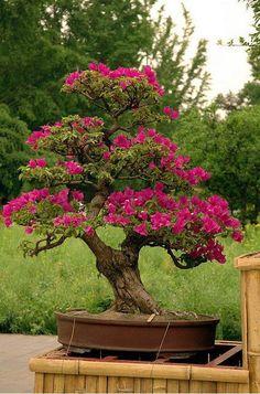 beautiful blooming bonsai
