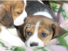 Foto de Cachorros de beagle bicolor