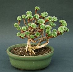 pygmy joshua tree (sedum multiceps) bonsai: