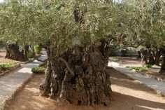 Jerusalem – Mount of Olives - The Olive trees in the Garden of Gethsemane have been tested with carbon 14 and they are nearly 2000 years old. An Olive tree will live forever if not cut down. It keeps renewing itself by growing young branches out of a hollow trunk.