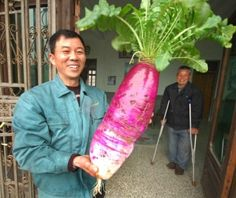 Not a succulent -- but so cool!  Giant radish.