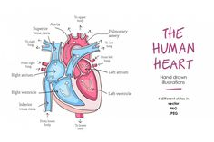 Ad: Human heart anatomy by Elisa Lara Campos on Human heart anatomy illustrations. Hand drawn illustrations of the anatomy of the heart with labels on 4 different styles, ready to use. Heart Anatomy Drawing, Anatomical Heart Drawing, Human Heart Drawing, Anatomy Art, Brain Drawing, Bullet Journal Lettering Ideas, Bullet Journal Ideas Pages, Biology Revision, Human Anatomy And Physiology
