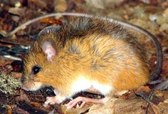 Meadow Jumping Mouse....NORTH AMERICAN  JUMPING MOUSE....a mouse-like rodent found in North America and China.....measures 8.1–10.1 inches long