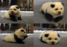 I want a panda dog...