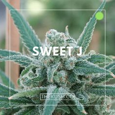 """""""Sweet may be an understatement for this powerful sativa-dominant hybrid."""""""