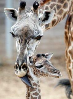 Houston Zoo welcomes adorable new baby giraffe - Houston Chronicle