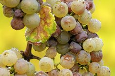 """Noble rot (French: pourriture noble; German: Edelfäule; Italian: Muffa nobile; Hungarian: Aszúsodás) is the beneficial form of a grey fungus, Botrytis cinerea, affecting wine grapes. Infestation by Botrytis requires moist conditions. If the weather stays wet, the damaging form, """"grey rot,"""" can destroy crops of grapes. Grapes typically become infected with Botrytis when they are ripe. If they are then exposed to drier conditions and become partially raisined this form of infection is known as…"""