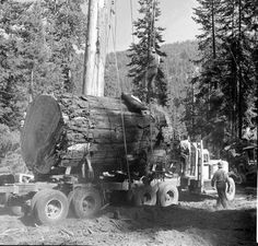 Millions of Semi Trucks: Photo Tree Logs, Old Trees, Semi Trucks, Big Trucks, Big Trees California, Pendleton Oregon, White Tractor, Logging Equipment, Forest Pictures