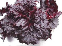 Merlot Lettuce Organic  -  55 days. Striking, deep dark red, almost purple frilly leaves. A real eye-catcher in the garden and one of the darkest lettuces you can grow. The plant is nothing less than stunning. A very crisp and open headed leaf type that stands upright with a waxy shine that makes an ideal salad lettuce at every stage. It's very high in antioxidants and non-bitter.