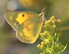 clouded sulfur - Colias philodice