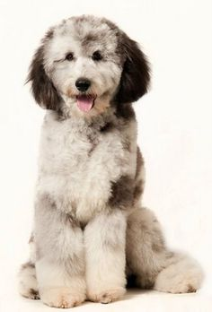 AussieDoodles!! - Welcome to our ranch where... Temperament, Color, Conformation, and Gait. all come TOGETHER!!!