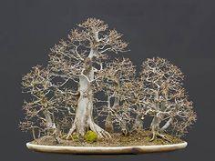 Grab Bonsai Galeria Wykonawca: Walter Pall  Europejski Grab (Carpinus betulus)