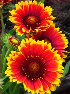 Fiesta! (Blanket Flower) by colleen thurgood