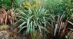 phormiums, yuccas and cordylines