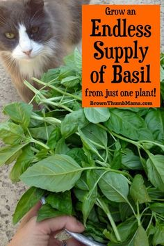 Indoor Garden Design You can grow endless amounts of basil from just one plant! Here's the secret to abundant basil.Indoor Garden Design You can grow endless amounts of basil from just one plant! Here's the secret to abundant basil. Growing Herbs, Growing Vegetables, Basil Growing, Organic Vegetables, Gardening For Beginners, Gardening Tips, Gardening Services, Gardening Supplies, Herb Garden Design