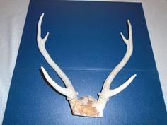 Deer Antlers with skull cap . Antlers . Might be Axis Antlers?