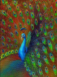 Peacock !!