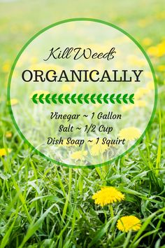 Time = Organic Weed Killer Kill Weeds Organically with 3 Household Items hmmm maybe I should try this on the ditches down south!Kill Weeds Organically with 3 Household Items hmmm maybe I should try this on the ditches down south! Garden Weeds, Lawn And Garden, Garden Tools, Garden Water, Garden Projects, How To Kill Dandelions, Organic Gardening, Gardening Tips, Weed Control