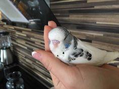 ❤️❤️Mega zutraulicher Wellensittich , jung,lieb&zahm ❤️❤️ in Berlin - Mitte | Wellensittiche und Kanarienvögel kaufen | eBay Kleinanzeigen