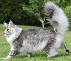 Cloistercoon Harry Houdini, wonderful cat in silver ticked tabby