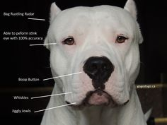 Diagram of the Dogo Argentino - Part 1 Today, we're studying the head of the Dogo Argentino. Also known as the Treat Assassin.