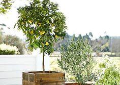 常緑シンボルツリーになる!素敵な家庭果樹5選!