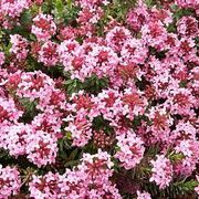 Rose Daphne Plant Care | eHow