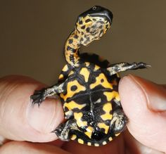 Keepers at the Mountain Zoo in Germany are celebrating after successfully breeding Roti Island snake necked turtles for the very first time. The species is considered to be extremely endangered and hails from Rote Island, which is south west of Timor and north of Australia. The newborns are currently around 3cm long but will grow to around 24cmPicture: Rex Features