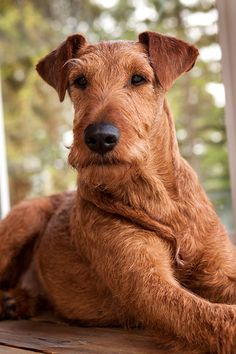 Let´s do IT - Irish Terrier Friends