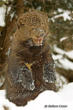 90 Fisher Ideas Fisher Fisher Cat Animals