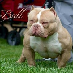 American Bully Daily ⋆ Everything About Pitbull and Bully Dog Breeds Cãezinhos Bulldog, Bulldog Puppies, Bully Pitbull, Pitbull Terrier, Cute Funny Animals, Cute Dogs, Hound Dog Breeds, Pit Dog, Nanny Dog