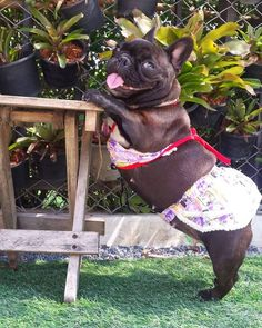 Get your Pup dressed up for Halloween. Here are the best Pet Halloween Costumes. These Halloween Costumes for Dogs are cute, unique and adorable. French Bulldog Clothes, Cute French Bulldog, French Bulldog Puppies, French Bulldogs, Puppy Halloween Costumes, Pet Costumes, Cute Baby Animals, Funny Animals, Cute Puppies