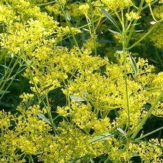 Patrinia scabiosifolia - Guldbaldrian