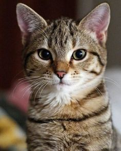 Such a cute tabby cat. Cute Cats And Kittens, I Love Cats, Crazy Cats, Cool Cats, Kittens Cutest, Funny Cats, Funny Animals, Cute Animals, Pretty Cats